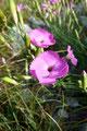 Wie schon fast üblich bei meinen unzähligen Wandertouren, durfte die Blumenwelt nicht zu kurz kommen. Eine meiner Lieblingsblumen, die Steinnelke.
