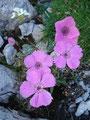 Vorbei an wunderschöner Bergflora ...