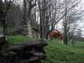 """… entlang des Weidezauns. Alle anderen Kühe grasten zum Glück zufrieden innerhalb des Zaunes. Nochmals warf ich einen kontrollierenden Blick zurück auf die """"Eine"""" ausgebrochene. Ich wurde von ihr genauestens beobachtet!"""