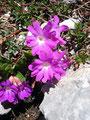 …  das Alpenaurikel in voller Blüte.
