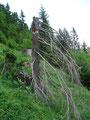 So manch eine skurille Baumformation zeigte sich uns am Wegesrand.