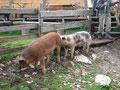 Nachdem wir gespeist hatten, gingen wir durch das Schweinegehege den Weg entlang ...