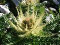 ... bevor an wunderschöner Bergflora vorbei ...