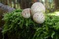 Das feucht-heiße Wetter ließ die Pilze an den unmöglichsten Stellen herausschießen.