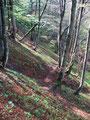"""Nochmals tauchten wir in den Wald ein und folgten dem laubbedeckten, teilweise oft auch """"gatschigem"""" Steig, der sich in den Sattel zwischen Gspranggupf und Zimnitz hinaufzieht."""