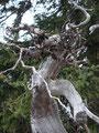 """Wind, Regen, Schnee und Sonne hatte dieses Gebilde geformt.  Dieser Teil des Wurzelstockes sah aus wie eine """"Medusa""""."""