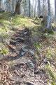 … nach links abbog und über Wurzel und Steinen steil den licht bewaldeten Waldhang empor führte. Dieser stieg gemütlich weiter bergan.