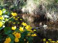 ............. wunderschönen Sumpf-Dotterblumen.