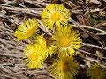 Der Wegrand wurde durch den vielen blühenden Huflattich in ein sattes sonniges Gelb verwandelt.