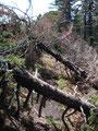 Aber auch die vom Sturm gefällten Bäume konnten uns nicht wirklich aufhalten. Bei den Einen musste man oben drüber, …