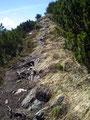 Der einmal steinige und dann wieder wurzelige durch Latschen führende Steig Nr. 814 begleitete unseren ganzen  Abstieg.