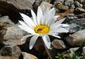 Man konnte es fast gar nicht glauben, doch auch in dieser Einöde gedeihte so manche Blumenpracht. In dieser Steinwüste kämpfte die Flora wahrlich um jeden Zentimeter Boden.