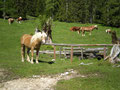 Auf der Hochscheibenalm war jede Menge los. Die Kühe faulenzten in der Sonne und die Pferde bettelten uns an. Hier wies die Markierung dann nach rechts auf eine Forststraße.