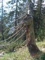 ... und schon befanden wir uns wieder im Hochwald. Rudolf konnte nicht anders, er musste diesen doch sehr komisch anmutenden Baum auf Bild festhalten.