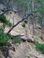 Von nun an führte der Steig wieder in einen Föhrenwald hinein, einen Grashang querend, noch einige Kehren empor und  …