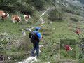 Während wir drei noch so ohne weiters bei den Kühen vorbeikamen, wurde Andreas von einem Muttertier mit Kalb eindringlichst darauf hingewiesen das er hier nicht erwünscht ist. Andi suchte sich schnurstracks einen anderen Weg durch die Latschen.