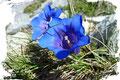 Zwischendurch konnte man unzählige in sattem blau leuchtende Enziane bewundern. Sie sind auch schön anzusehen, wobei viele Wanderer den Geschmack eher in flüssiger Form lieben.