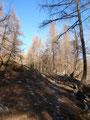 Auf einem steinigen Weg durch den Lärchenwald …