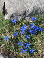 Die Flora ist meines Erachtens nach hier um etwa 14 Tage früher dran. Die Wiesenenziane zeigten sich in voller Blüte. Ach so schön kann nur der Frühling sein!