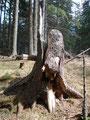 Wie anfangs schon erwähnt nahm ich jetzt die Abkürzung der Einheimischen durch den Wald. Hier bei diesem markanten Baumstumpf, fast am Ende der Waldschneise bog der Weg rechts in den Wald hinein. Meine Schneeschuhe waren von nun an wieder überflüssig.
