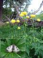 """Vorbei an unzähligen Trollblumen auf denen es sich ein wunderschöner Schmetterling namens """"Schwarzer Apollo"""" (...ein herzliches Dankeschön an Dich Lissi an dieser Stelle für die Namensgebung des Falters) gemütlich gemacht hatte ..."""