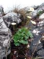 Aus der Felsspalte streckt sich der gefährdete Berg-Hahenfuß.