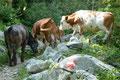 Ups, was war denn hier los? Eine Herde Kühe belagerten und versperrten den Weg. Rasch waren sie sanft vertrieben und unserem Rückmarsch stand nichts mehr im Wege.