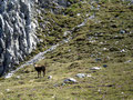 Stetig wurden wir von den vierbeinigen Bergbewohnern, den Gämsen, beobachtet.