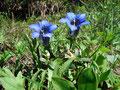 … wunderschöner Enzianblüte zu überwinden, bevor …