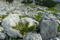Die Latschenbüsche wurden allmählich rarer.  Stein und Fels nahmen immer mehr  überhand. Obwohl der Steigverlauf in diesem Bereich großzügig markiert war, musste man trotzdem genau auf diesen  achten.