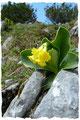 Das gefährdete Alpen-Aurikel (Primula auricula),  in Österreich und Deutschland geschützt!