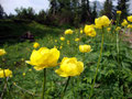 """... und so war es auch keine Überraschung das sich als bald unser """"Lisschen"""" blicken ließ. Vorbei an unzähligen gelben Trollblumen ..."""