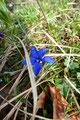Das satte Blau der ersten Frühlingsenziane verkündete das Frühlingserwachen in den Bergen.