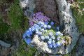 Auch hier überraschten vereinzelte blühende Polster zwischen dem Graubraun der Felsblöcke und dem Geröll.