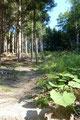 Zuerst ging es leicht ansteigend ostwärts durch den dunklen Wald und anschließend nordwärts unter lichter werdenden Bäumen und saftig grünen Oasen zu einer querenden Forststraße hinauf.