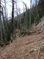 Leider hatte auch hier der Windwurf oder eine Lawine ganze Arbeit geleistet, denn immer wieder mal lag ein Baumstamm neben oder auf dem Steig.