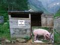 """Auch die beiden Hausschweine """"David & Golliath""""  der Hütte waren auch schon munter und bettelten die Wanderer nach Futter an."""