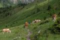 Hindurch durch friedlich grasendes Fleckvieh zog sich der gut ausgetretene Steig anfangs über Weidegelände, …
