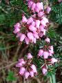 Entlang des Wegverlaufs war diese wunderschön blühende Pflanze immer wieder anzutreffen.
