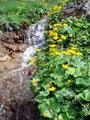 Auch das saftige Grün der Almwiesen wurde ein weiteres Mal überwandert. Der neben dem Wegverlaufes fließende Kasbach ließ so einiges an Naturaufnahmen zu fotografieren zu. Sumpfdotterblumen begleiteten den Bachverlauf.