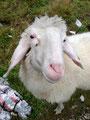 """… Gerade das dem Schaf nicht ein """"Zwinckern"""" auskam. Ich glaube du hast keine Chance, den größeren Dickschädel habe jedenfalls ich, sollte dies wahrscheinlich signalisieren."""