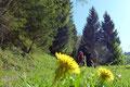 … den zur verfallenen Zaglbaueralm hinaufziehenden Fahrweg bergan. Immer wieder sorgte das leuchtende Gelb der Sumpfdotterblume bzw. des Löwenzahns für einen netten Kontrast.