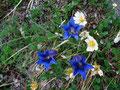 ... mit Enzianblüte