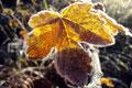 Da soll noch einer Sagen der Herbst hat keine schönen Seiten! Wunderschöne Aufnahme eines bernsteinfarbenen Blattes durchleuchtet von der Sonne inklusive einer Umrandung die Swarofski nicht schöner hätte machen können.