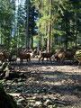 """... am Hirschgehege vorbei. Selten habe ich soviele und so stattliche Hirschen auf einen """"Haufen"""" gesehen wie an diesem Tage."""