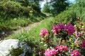 … einer kleinen Baumzone höher. Überall lag der Duft der Almrauschblüte in der Luft und das grelle pink brachte Farbe in die Natur.