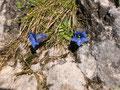 Aus den Felsspalten sprossen immer wieder die kurzstieligen Enziane.