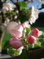 ... die Apfelblüte. Einfach toll anzusehen, wie momentan alles blüht!