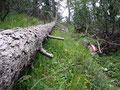 Dem umgestürzten Baum folgend ...