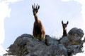 """Zwei Gämsen beobachteten neugierig unseren Aufstieg. Schließlich waren Wolfgang und ich hier im Stein und Fels die  """"Eindringlinge""""."""